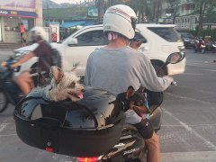 Bloke with four little dogs squeezed onto his moped!